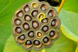 those horrible lotus seeds